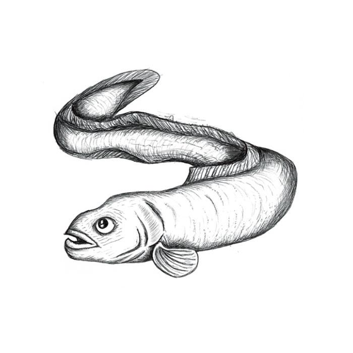 Conger eel sketch