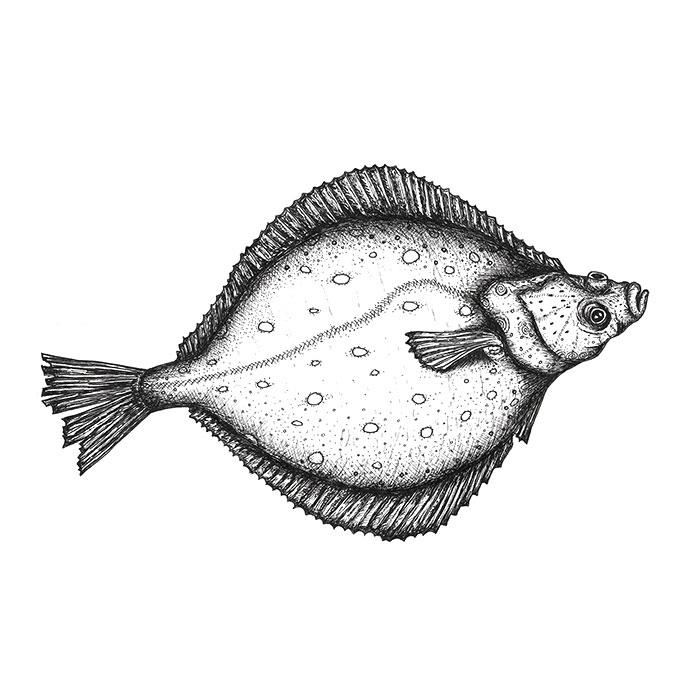 Flatfish drawing