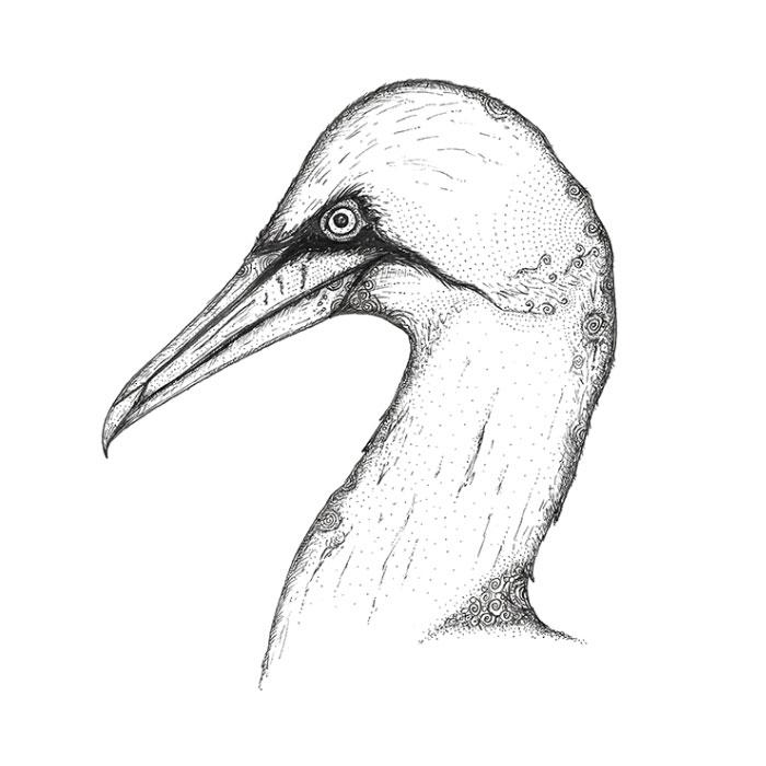 Gannet pen sketch