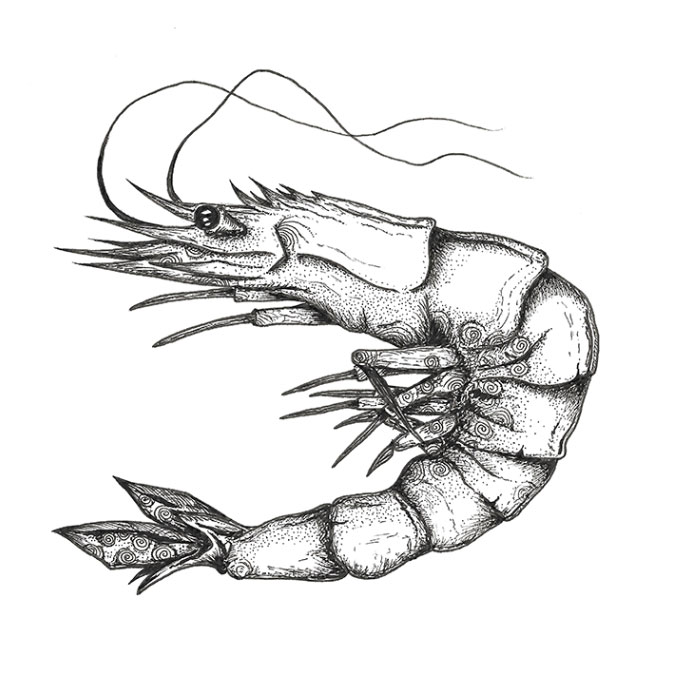 Prawn pen sketch