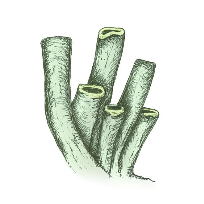 Organ pipe coral drawing