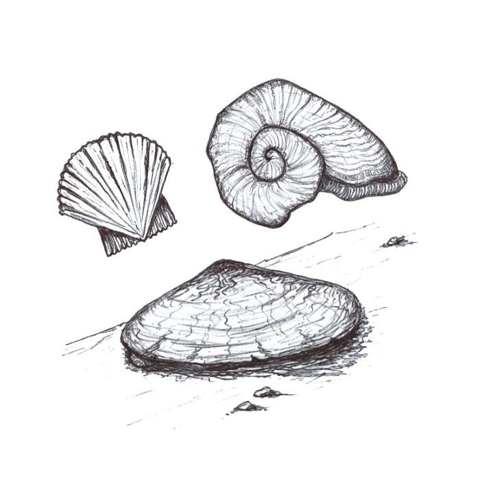 Seashell drawing