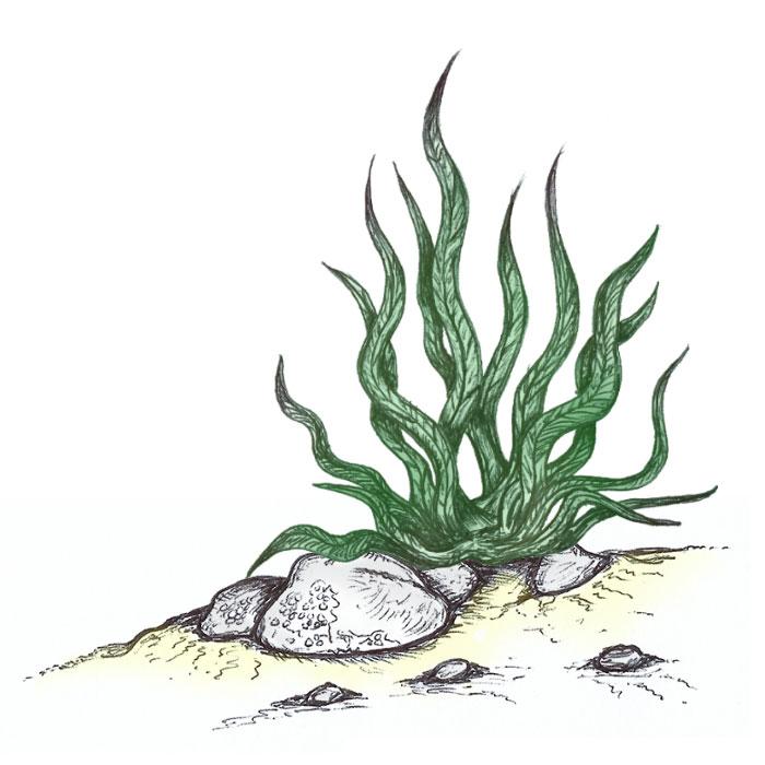Green seaweed drawing