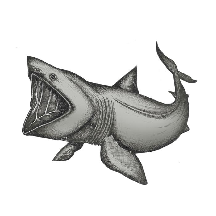 Basking shark drawing