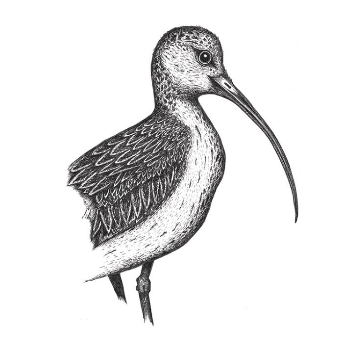 Curlew bird drawing