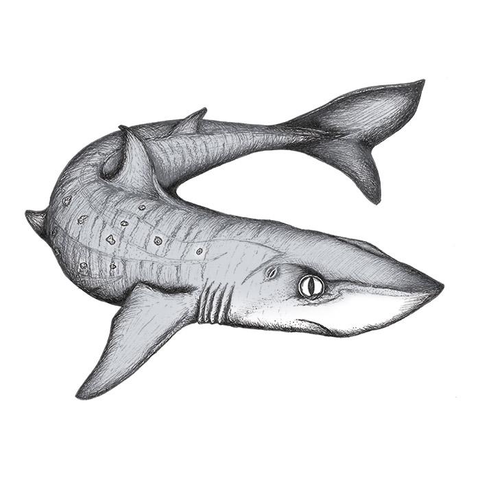 Dogfish drawing