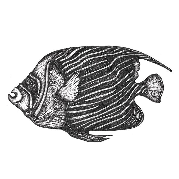 Emperor angelfish drawing